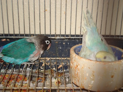 Pipsqueak, lovebird and Shelly, parakeet