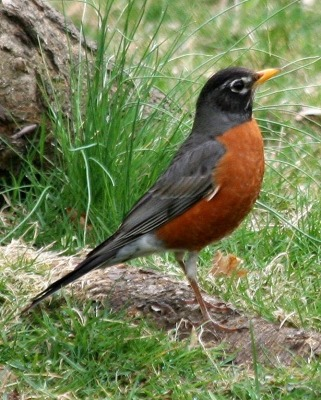 American Robin - I did not take this picture