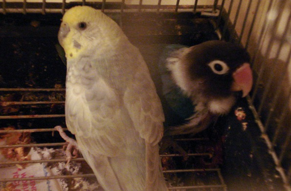 Shelly, parakeet on left, with her lost love Pipsqueak, lovebird