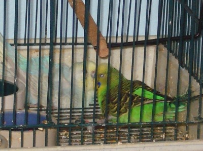 Parakeets Shelly on the left, female, and Ginger, male