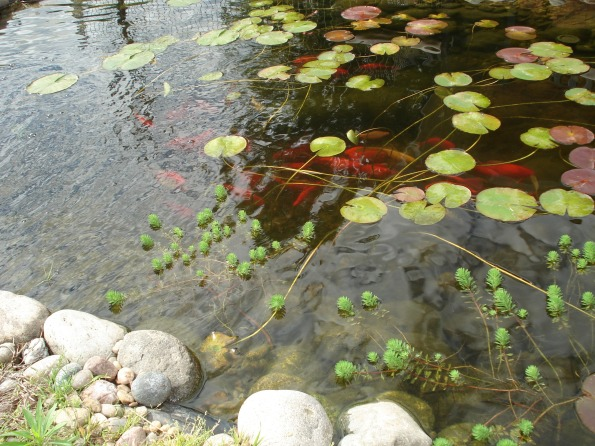 Water lily pads and parrots featther plants in my backyard goldfish pond