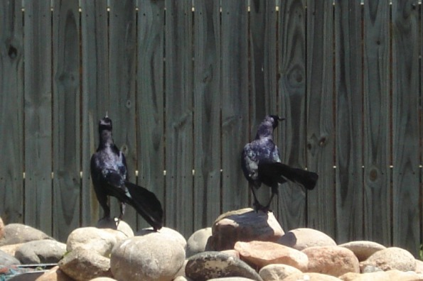 Two male Great Tailed Grackles