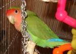 Candy - Lovebird
