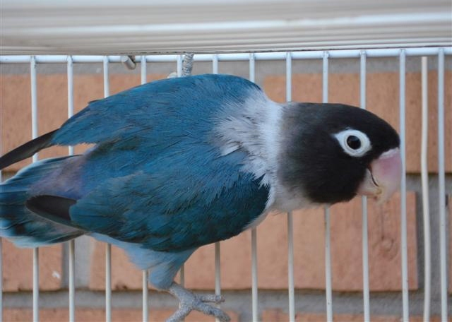 Pipsqueak - Lovebird