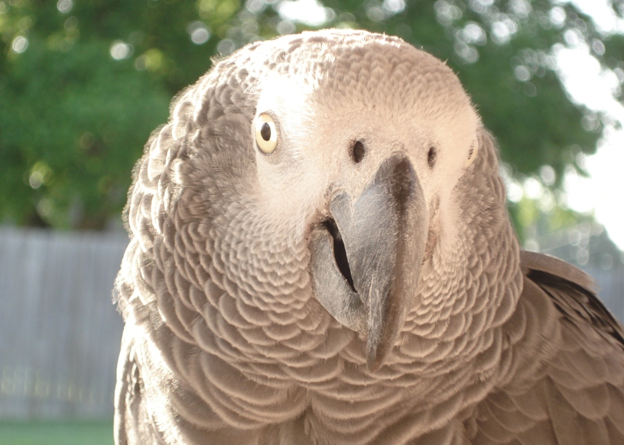 Rufus - African Grey Parrot